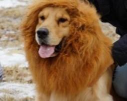 Crinière de lion pour chien